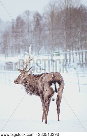 Noble Sika Deer ,  Cervus Nippon, Spotted Deer ,  Walking In The Snow On A White Background