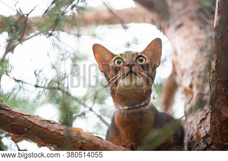 Abyssinian Cat In Collar, Sitting In A Tree. High Quality Advertising Stock Photo. Pets Walking In T