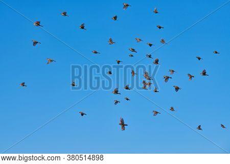 Sparrows Flock Flies In Blue Sky. Little Urban Birds. Sparrows Bird Wildlife. Birdwatching And Ornit