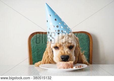 Birthday Dog. American Cocker Spaniel And Holiday Treat.