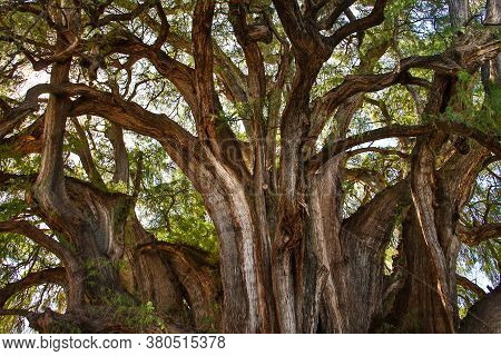 Huge Unesco Protected Cypress Tree In Tule In Mexican State Of Oaxaca
