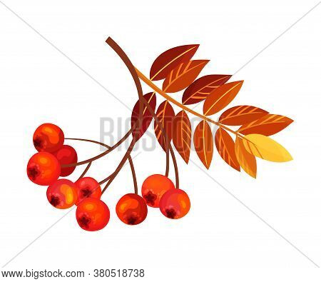 Ashberry Branch With Berry Clusters And Pinnate Leaves Vector Illustration