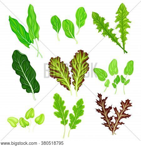 Salad Leaves With Rocket Salad And Spinach Vector Set