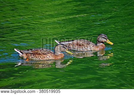 A Pair Of Hen Mallards Swim By Showing Off Their Beauty.
