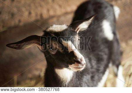 Black And White Goat In Barn. Domestic Dwarf Goat In The Farm. Little Goat Standing In Wooden Shelte