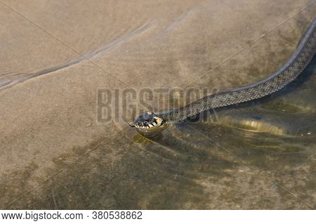 Not A Venomous Dark Green Snake (grass-snake), With Yellow Spots On Its Head, Swims On Transparent W