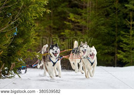 Running Husky Dog On Sled Dog Racing. Winter Dog Sport Sled Team Competition. Siberian Husky Dog In