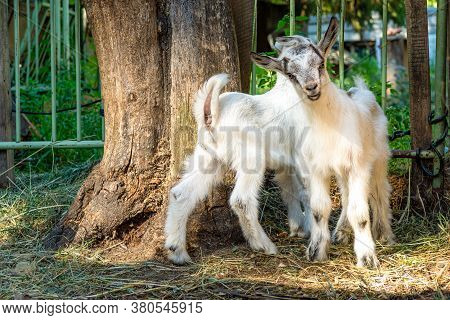 Two Small Goats In The Farmyard, Looking At The Camera.
