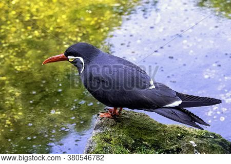 Inca Tern (larosterna Inca) With Uniquely Plumaged