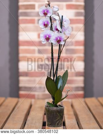Rosy Moth Orchids, Phalaenopsis With Isolated Background