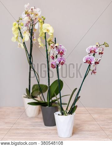 Colorful Moth Orchids, Phalaenopsis With Isolated Background