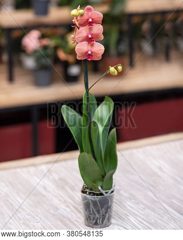 Rosy Moth Orchid, Phalaenopsis With Isolated Background