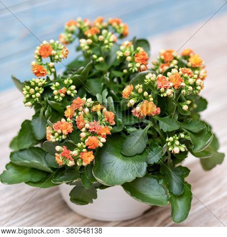 Colorful Widow's-thrill, Kalanchoe Flower With Isolated Background