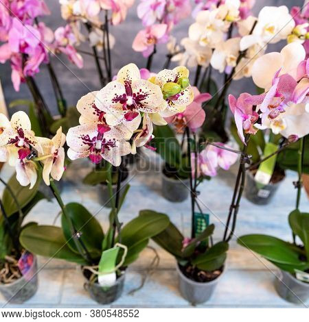Moth Orchid, Phalaenopsis Flowers Close Up With Isolated Background