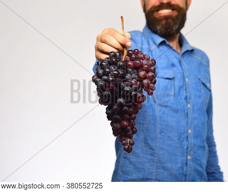 Winemaking And Autumn Concept. Man With Beard Holds Black Grapes