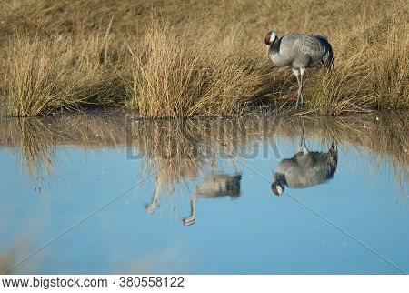 Common Cranes Grus Grus Reflected In A Lagoon.