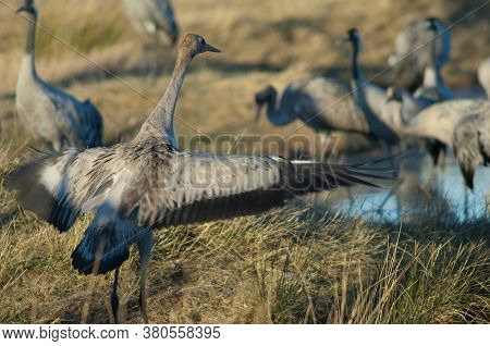 Common Crane Grus Grus Flapping Its Wing.
