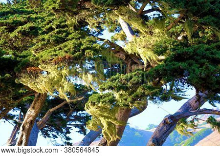 Lush Green Moss Hanging From Windswept Cypress Pine Trees Taken On The California Coast In Big Sur,