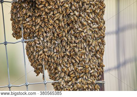 Large Swarm Of Africanized Bees On A Fence