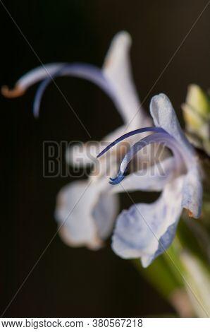 Stamens Of A Flower Of Rosemary Rosmarinus Officinalis.