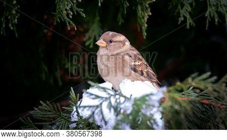 Eurasian Tree Sparrow Passer Montanus Winter, Snow, Snowflakes, Winter Snow, The Best Photo, Sitting