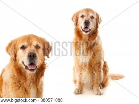 Two beautiful labrador dogs isolated on a white background