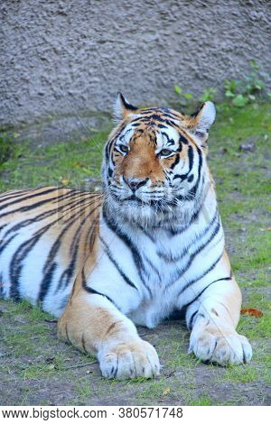 Bengal Tiger Lying On The Grass. Beautiful Tiger Living In Zoo. Big Predatory Cat. Wild Tiger Laying