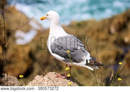 Seagull Standing On A Bluff Overlooking The Rugged Shore And Tide Pools Taken In The Rural Central C