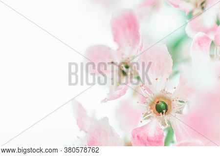 Blossom Cherry Flowers. Spring Flowers On Blurred Blue Background With Bokeh. Sakura Flowers. Pink F