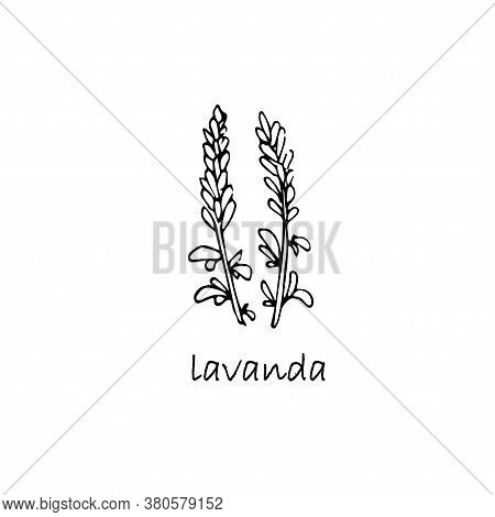Lavanda Plant Sketch. Hand Drawn Ink Art Design Object Isolated Stock Vector Illustration For Web, F