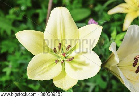 Magnificent Yellow Flowers Of Wild Lilies With Dewdrops. Summer Flower Meadow. Selective Focus.
