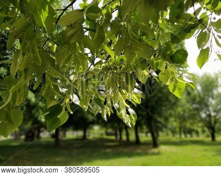 Tilia Caucasica Linden Tree. Large Bright Green Leaves On Branches Of Caucasica Linden On Blurred Ba