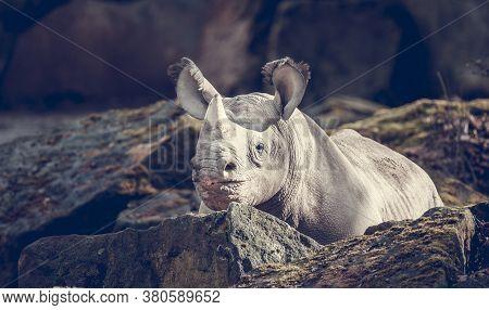 White Rhino Are Critically Endangered Speciesand Rare Animals