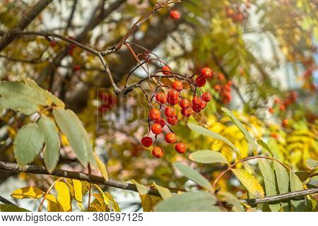 A Bunch Of Red Rowan In Autumn Leaves. Autumn Rowan Berries In Gold Leaves