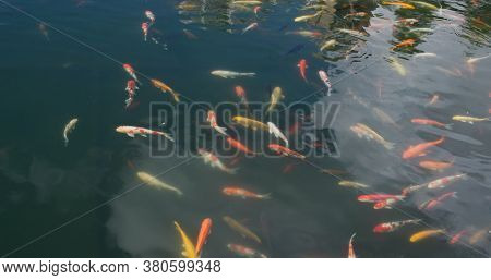 Koi fish swim at water pond