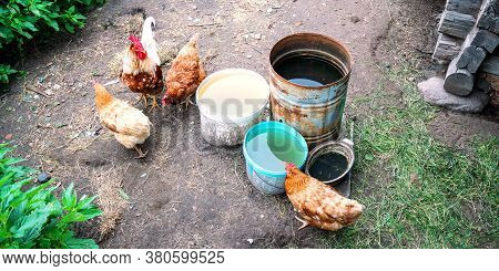 Chickens Of Brown And White Colours Surround Various Dirty Rusty Buckets With Water On Farmyard Grou
