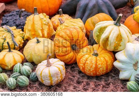 A Pile Of Squash Different Color Orange Yellow Green Striped. Autumnal Harvest Of Vegetables, Ripe S