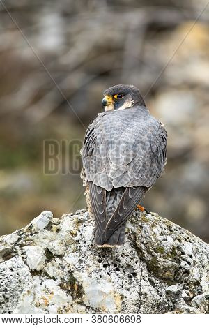 Magnificent Peregrine Falcon Sitting On Rock In Spring Nature From Rear View.