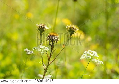 Summer Autumn Background Of The Nature Of Herbs. Prickly Flower Weed Grass Blurred Background. Close