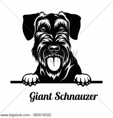 Peeking Dog - Giant Schnauzer Breed - Head Isolated On White