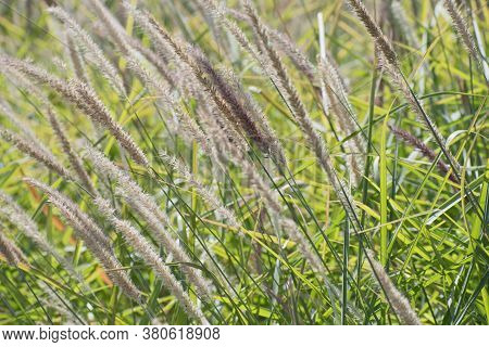 Glade Of Beige And Pale Violet  Decorative Fluffy Spikelets  Sways In The Wind On Blurred Floral Bac