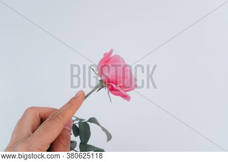 hand holding a beautiful pink rose isolated on white background.