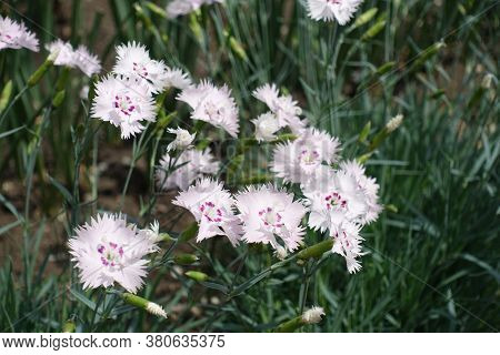 Group Of Light Pink Flowers Of Dianthus Deltoides In May