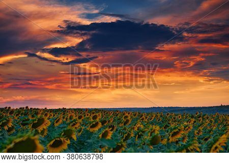 sunflower field in a beautiful sunset, sunlight and clouds