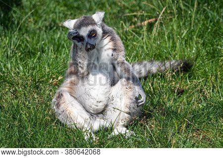 Sad Lonely Ring Tailed Lemur (lemur Catta)