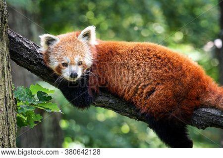 Red Panda (ailurus Fulgens) On The Tree. Cute Panda Bear In Forest Habitat.