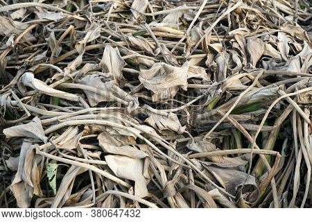 Close Up Dry Eichhornia Crassipes For Agriculture