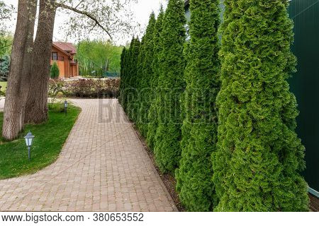 Row Of Tall Evergreen Thuja Occidentalis Trees Green Hedge Fence Along Path At Countryside Cottage B