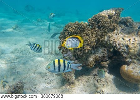 School Of Sergeant Major Fish (pintano) And Black-backed Butterflyfish (chaetodon Melannotus) In Red