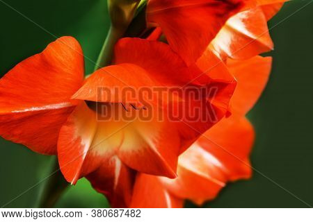 Gladiolus , Sword Lily, Orange Gladiolus Beautiful Flower Blooming In The Garden, Close Up Of Gladio
